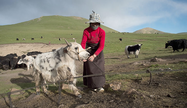Yak Prices Rise as Buyers Rush to this New Niche Fiber