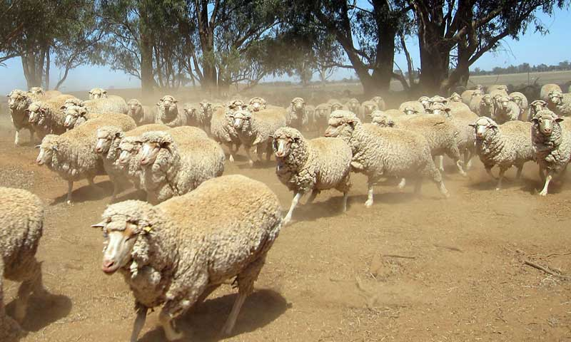 Chinese Demand Drives Up Wool Prices